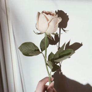 バラが一輪