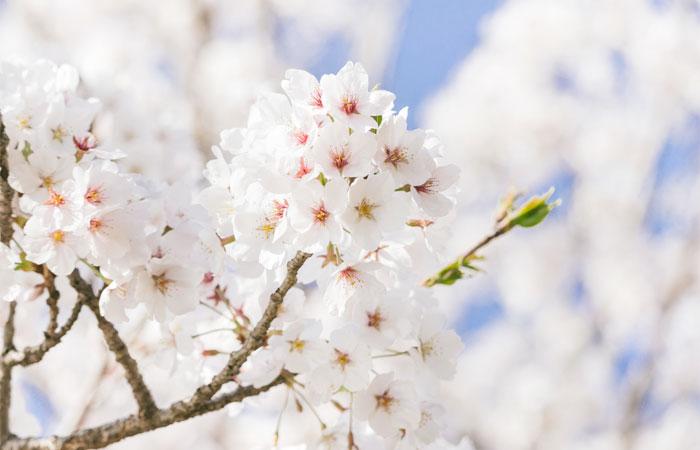 が 最も 1 枚 輪 何 つく に 多く 花びら 桜