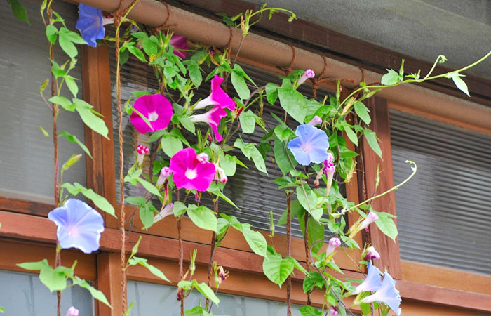 咲き乱れる朝顔(アサガオ)の花