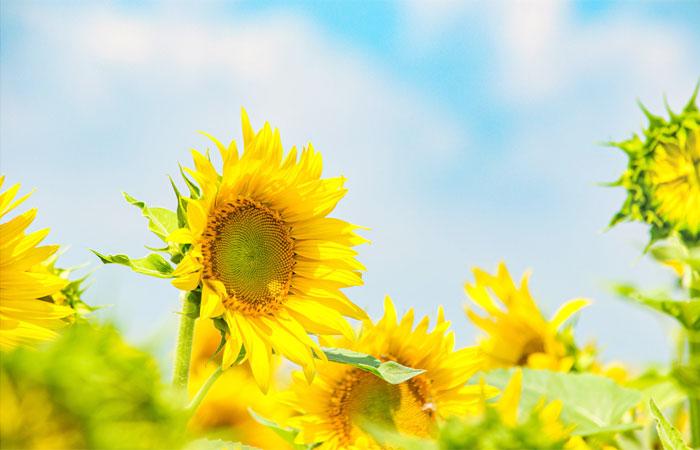 青空と向日葵(ひまわり)の咲いた花