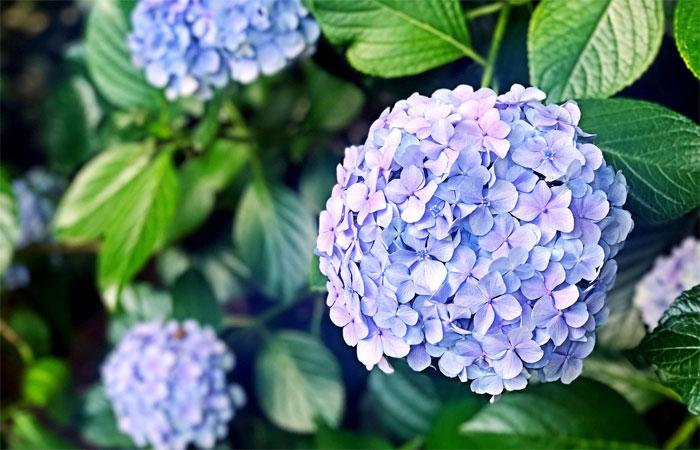 紫陽花(あじさい)の花