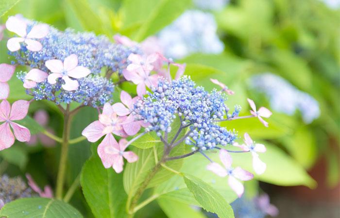 額紫陽花(ガクアジサイ)の花