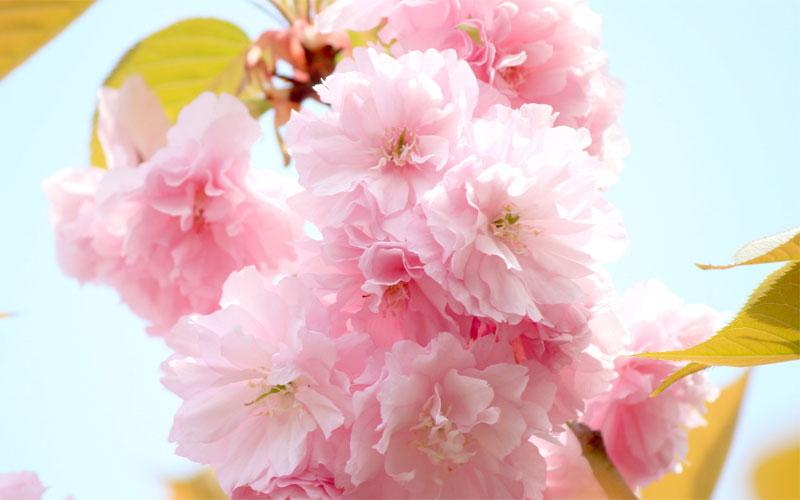 桜の塩漬けに適しているのは八重桜